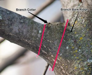 branch collar of tree